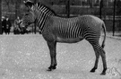 grevy's zebra - zebra with less continuous stripes