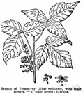 rhus - deciduous or evergreen shrubs and shrubby trees of temperate and subtropical North America, South Africa, eastern Asia and northeastern Australia