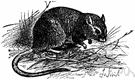 Sand rat - southern European gerbil