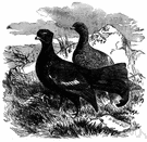 black grouse - grouse of which the male is bluish-black