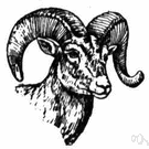 Cimarron - wild sheep of mountainous regions of western North America having massive curled horns