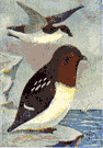 Plautus alle - small short-billed auk abundant in Arctic regions