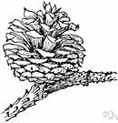 Pinus rigida - large three-needled pine of the eastern United States and southeastern Canada