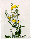 false foxglove - sparsely branched North American perennial with terminal racemes of bright yellow flowers resembling those of the foxglove