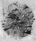 genus Porphyra - a genus of protoctist