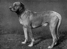 Rhodesian ridgeback - a powerful short-haired African hunting dog having a crest of reversed hair along the spine