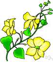 canary creeper - a climber having flowers that are the color of canaries