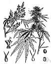 bhang - a preparation of the leaves and flowers of the hemp plant