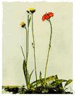 Pilosella aurantiaca - European hawkweed having flower heads with bright orange-red rays