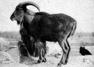 aoudad - wild sheep of northern Africa