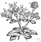 Origanum majorana - aromatic European plant native to Mediterranean and Turkey