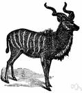 genus Tragelaphus - African antelopes: kudus