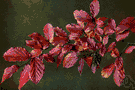 Parrotia - one species: iron tree