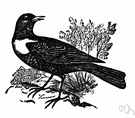 ring ouzel - European thrush common in rocky areas