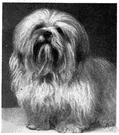 Lhasa - a breed of terrier having a long heavy coat raised in Tibet as watchdogs