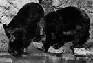 Euarctos - American black bears