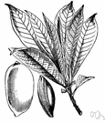 Pouteria zapota - tropical American tree having wood like mahogany and sweet edible egg-shaped fruit