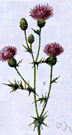 Cirsium arvense - European thistle naturalized in United States and Canada where it is a pernicious weed