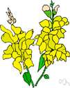 antirrhinum - a genus of herbs of the family Scrophulariaceae with brightly colored irregular flowers