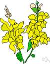genus Antirrhinum - a genus of herbs of the family Scrophulariaceae with brightly colored irregular flowers
