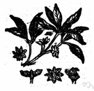 anise tree - any of several evergreen shrubs and small trees of the genus Illicium