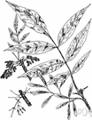 white ash - spreading American ash with leaves pale green or silvery beneath and having hard brownish wood