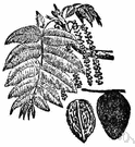 Juglans cinerea - North American walnut tree having light-brown wood and edible nuts