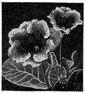 Gloxinia spesiosa - South American herb cultivated in many varieties as a houseplant for its large handsome leaves and large variously colored bell-shaped flowers