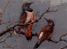 red-shafted flicker - western United States bird with red undersurface to wings and tail