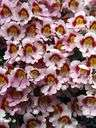 schizanthus - any plant of the genus Schizanthus having finely divided leaves and showy variegated flowers