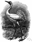 Grus americana - rare North American crane having black-and-white plumage and a trumpeting call