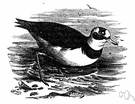 Charadrius morinellus - rare plover of upland areas of Eurasia