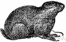 marmot - stocky coarse-furred burrowing rodent with a short bushy tail found throughout the northern hemisphere
