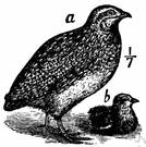coturnix - Old World quail