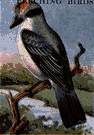 gray kingbird - a kingbird that breeds in the southeastern United States and winters in tropical America