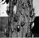 genus Magicicada - seventeen-year locust