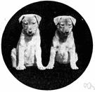 pie-dog - ownerless half-wild mongrel dog common around Asian villages especially India
