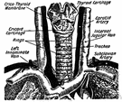 tracheal vein - several small veins from the trachea