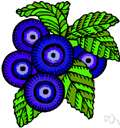Whinberry - erect European blueberry having solitary flowers and blue-black berries
