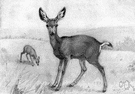 Odocoileus hemionus - long-eared deer of western North America with two-pronged antlers
