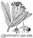 Pimenta - allspice tree