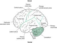Fig. A18 Lateral surface of the human cortex showing some of the primary areas. Association areas occupy very large portions of the cortex beyond the primary areas. From the primary visual area information is passed onto the surrounding association areas terminating in the inferior temporal (IT) lobe specialized for object identification (ventral pathway or what system), and the other in the parietal lobe or more precisely near the junction of the temporal, parietal and occipital lobes (referred to as MT) specialized for object localization (dorsal pathway or where system). Integration of information from these pathways is likely further processed ultimately in the frontal lobe