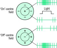 Fig. F2 Typical responses from receptive fields of retinal ganglion cells to a spot of light shone on the area indicated by the bars in each type of receptive field. on-centre cells respond best when stimulated in the central part of the field. off-centre cells respond best when stimulated in the surround of the field