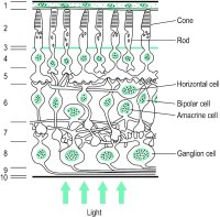 Fig. R9 Schematic representation of the cells and layers of the central primate retina (1: retinal pigment epithelium; 2: layer of rods and cones; 3: external limiting membrane; 4: outer nuclear layer; 5: outer plexiform layer; 6: inner nuclear layer; 7: inner plexiform layer; 8: ganglion cell layer; 9: nerve fibre layer; 10: internal limiting membrane)