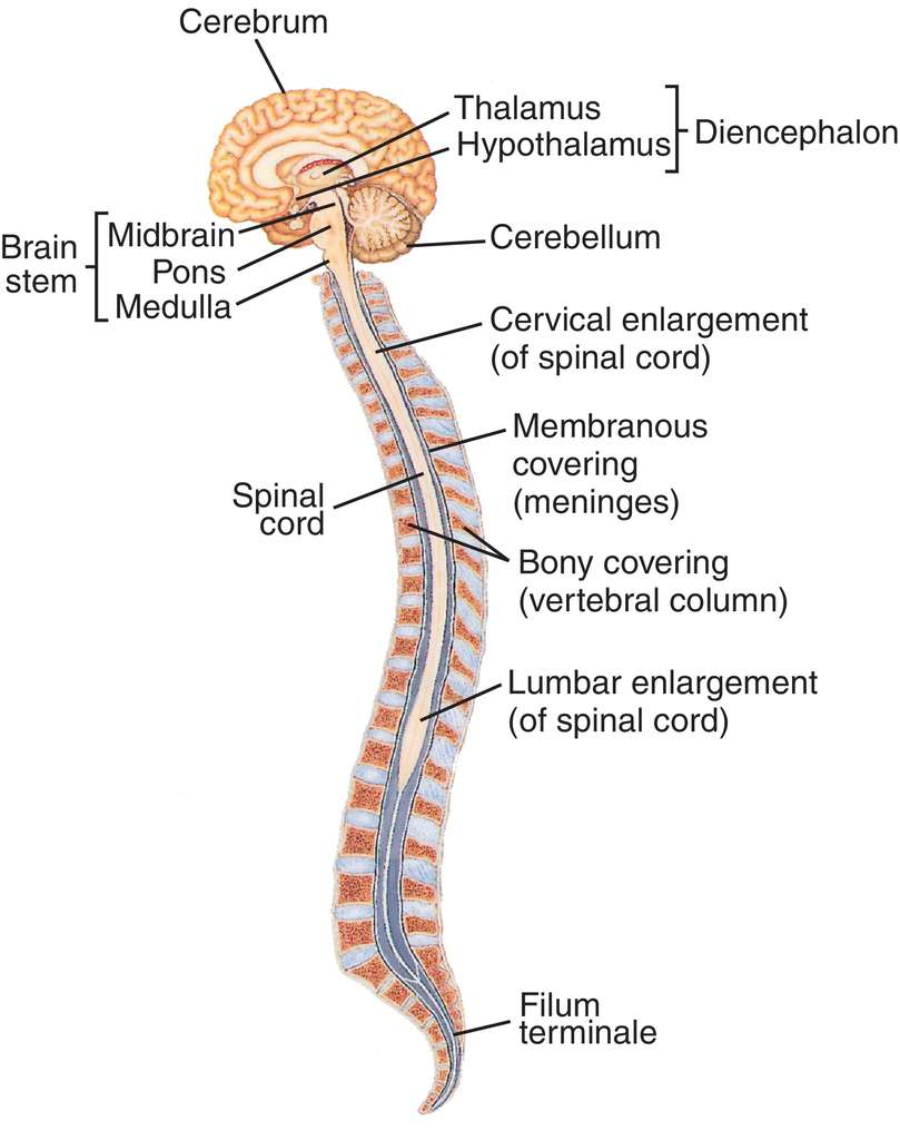 central nervous system | definition of central nervous system by