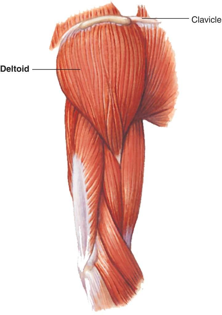 Full Size Picture deltoid-muscle.jpg