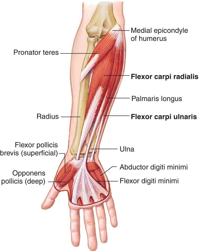 Full Size Picture flexor-carpi-radialis.jpg