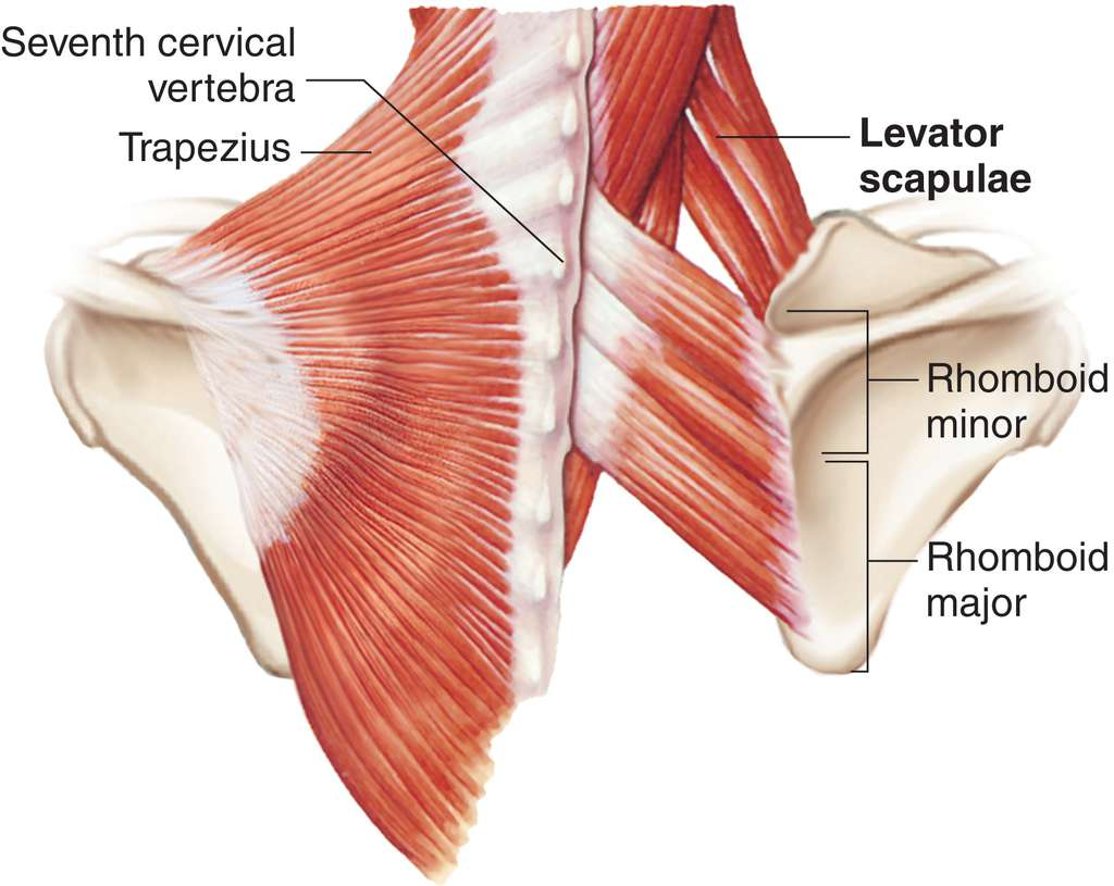 Full Size Picture levator-scapulae.jpg