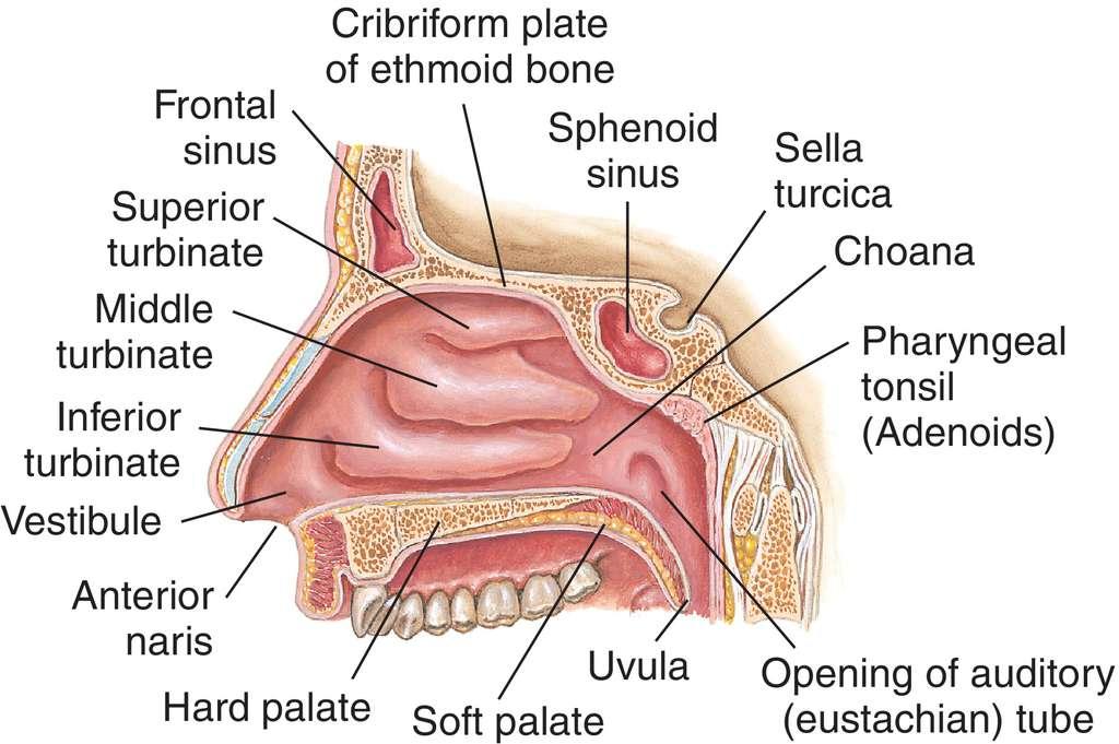Full Size Picture Nasal Cavityg