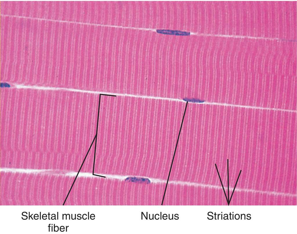 Full Size Picture striated-muscle.jpg